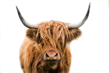 Photo sur Aluminium Vache highland cow