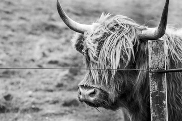 Wall Mural - highland cow