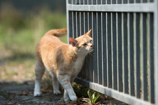 tabby red ginger cat marking a metal fence outdoors