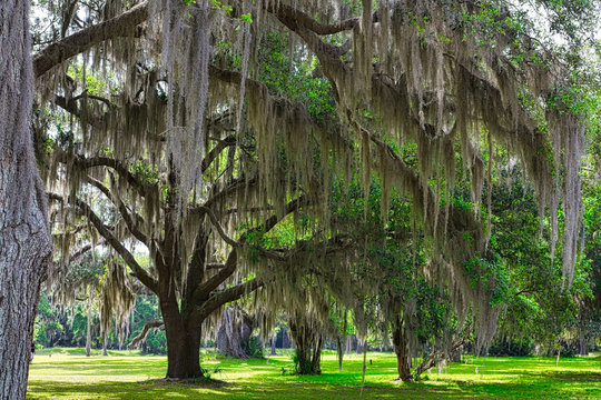 Spanish Moss growing on old oak trees in the southern United States