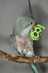 Quaker Parrot with self mutilated plucked feathers on legs and chest playing on perch