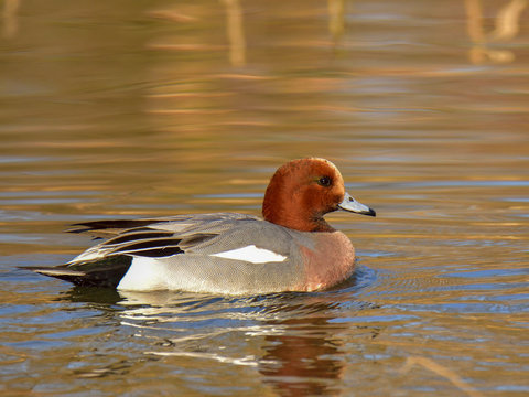 The adult male Eurasian wigeon floating on water in brown and orange reflection