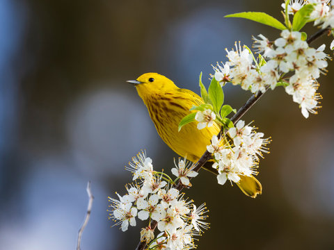 Yellow Warbler (Setophaga petechia) perching on white flowering tree branch in spring, Ottawa, Canada