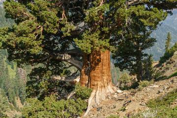 Foxtail pine, Pinus balfouriana