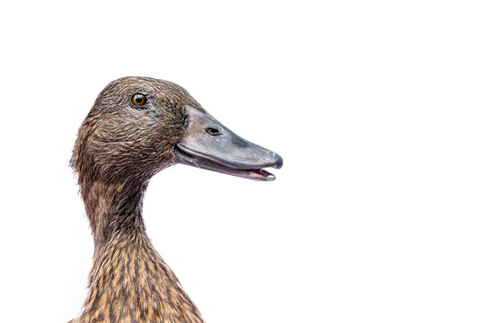 female mallard duck isolated on white background