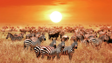 Zebras at sunset in the Serengeti National Park. Africa. Tanzania. Wall mural