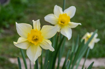 Photo sur Aluminium Flowers of two blossoming narcissus