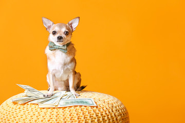 Cute chihuahua dog with money on wicker pouf against color background Wall mural