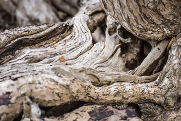 The spreading root system of the old tree on the ground. The variety of shapes in wild nature. Perfect background for the various kinds of collages, illustrations and digital media.Thailand.