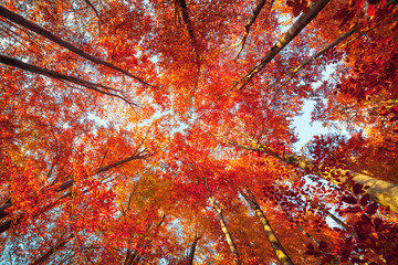 Foto op Canvas Aan het plafond Bottom view of the tops of trees in the autumn forest. Splendid morning scene in the colorful woodland. Beauty of nature concept background.