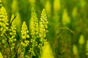 "Reseda lutea - the yellow mignonette or wild mignonette - is a species of fragrant herbaceous plant native of Eurasia and North Africa. Its roots have been used to make a yellow dye called ""weld"""