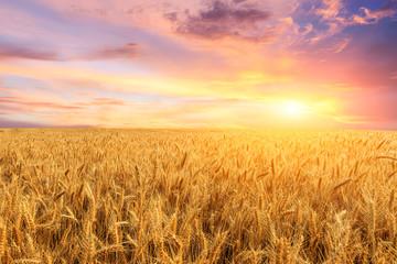 Garden Poster Culture Wheat crop field sunset landscape