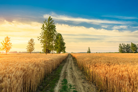 Field road and yellow wheat fields at sunset