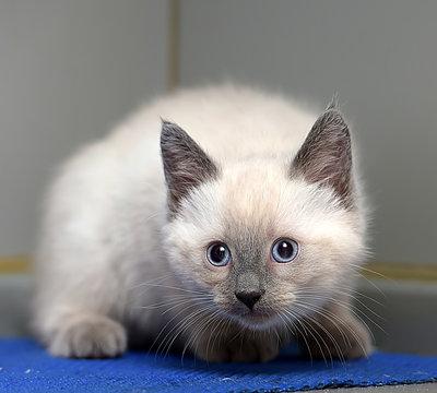 little fluffy Siamese kitten