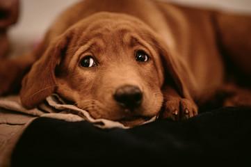 cute light-brown labrador retriever puppy