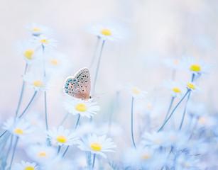 Little blue butterfly bluehead on daisy flowers in a meadow. Artistic tender photo.