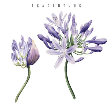 Agapanthus, watercolor, can be used as greeting card, invitation card for wedding, birthday and other holiday and  summer background.