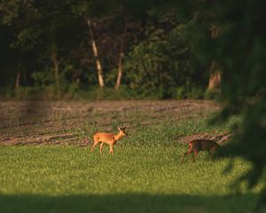 Roe deer doe in meadow in evening sunlight in spring.