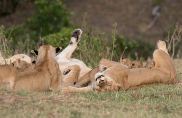 Pride of lions in Masai Mara Wall mural