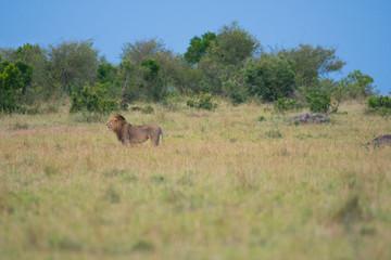 Male lion in Masai Mara Game Reserve Wall mural