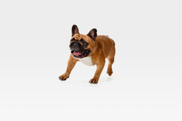 Wall Mural - Young French Bulldog is posing. Cute white-braun doggy or pet is playing, running and looking happy isolated on white background. Studio photoshot. Concept of motion, movement, action. Negative space.