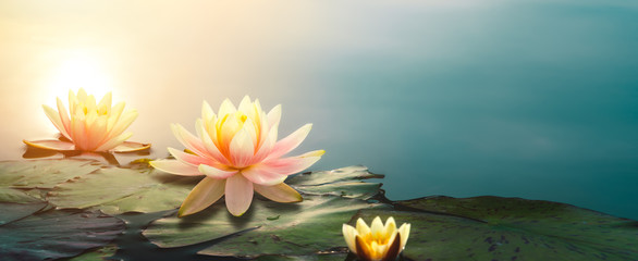 Keuken foto achterwand Waterlelies lotus flower in pond
