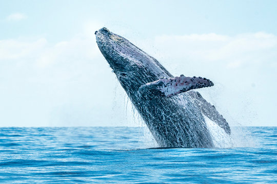 humpback whale breaching in cabo san lucas