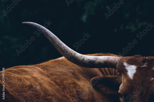 Wall mural Texas longhorn cow on farm, shows detail in horn close up.