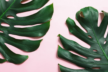 Green fresh monstera leaves on color background, flat lay. Tropical plant