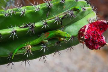 Two gold dust day geckos (Phelsuma Laticauda) on a saguaro cactus heading for red cactus fruit, Kauai, Hawaii