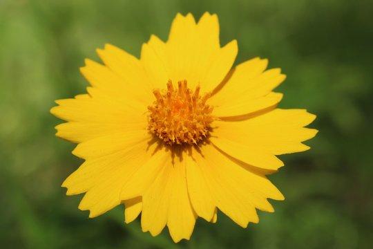 Macro shot of a yellow wildflower in Texas