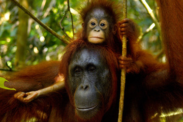 Female orangutan with her baby in the rainforest of borneo  Fotomurales