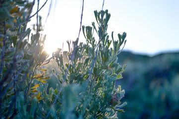 Sunrise Sage