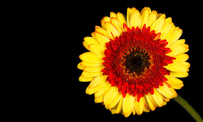 Single Yellow Gerbera Flower Isolated on Black Background