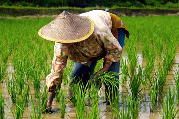 Printed roller blinds Rice fields Rice worker ,planting rice in rice field