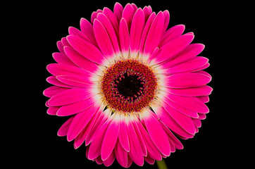 Single Pink Gerbera Flower Isolated on Black Background