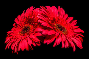 Two Pink Gerbera Flowers Isolated on Black Background