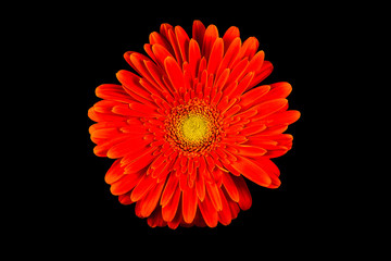 Single Red Gerbera Flower Isolated on Black Background