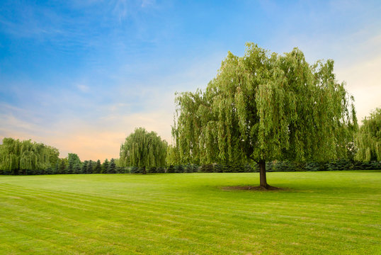 Weeping willow tree against beautiful colored sky and green grass
