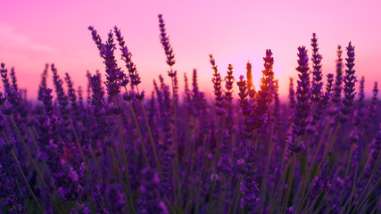 Tuinposter Lavendel SUN FLARE: Lush violet lavender bush sways in the gentle breeze at sunset.