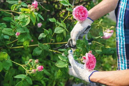 gardener man pruning tea rose shears. selective focus.