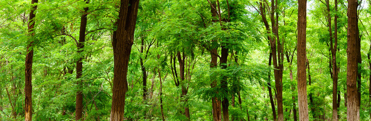 panorama view of green broad leaved forest, Sophora japonica forest, a leafy shade image