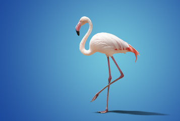 beautiful pink flamingo posing on blue background