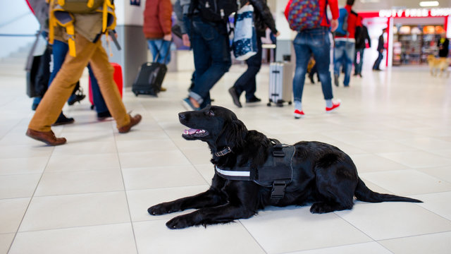 Drug detection black dog resting at the airport on the background of people.Horizontal view.