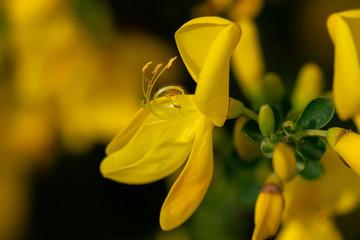 Makroaufnahme einer gelben Ginster Blüte mit vielen Details wie Blütenstempeln und Pollen vor unscharfem bokeh Hintergrund