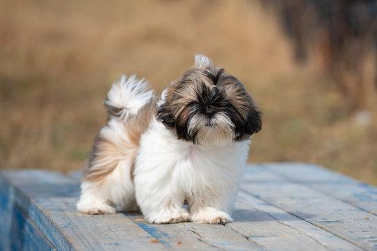 Portrait of brown and white Shih Tzu puppy dog