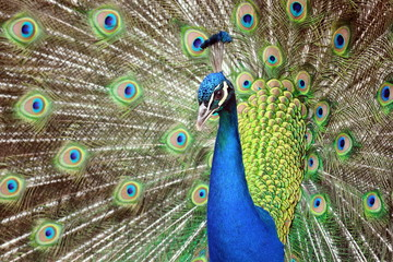 Peacock Beauty Pavo Cristatus with Outstretched Wings Portrait