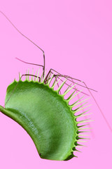 Spider with long legs caught in a venus flytrap plant