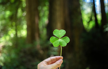 Large clover being held in front of a redwood tree