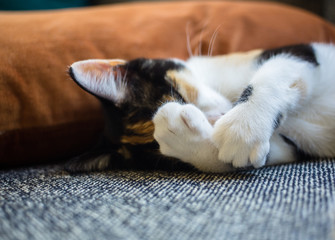 Calico kitten covering her face with her paws